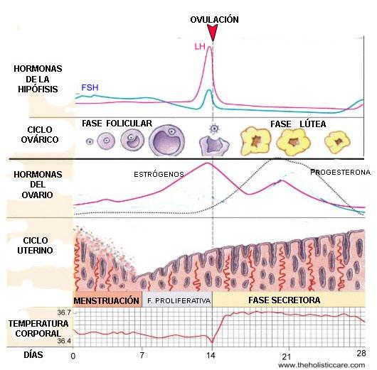 Ciclo-sexual-femenino-hormonas-folículo-endometrio-temperatura